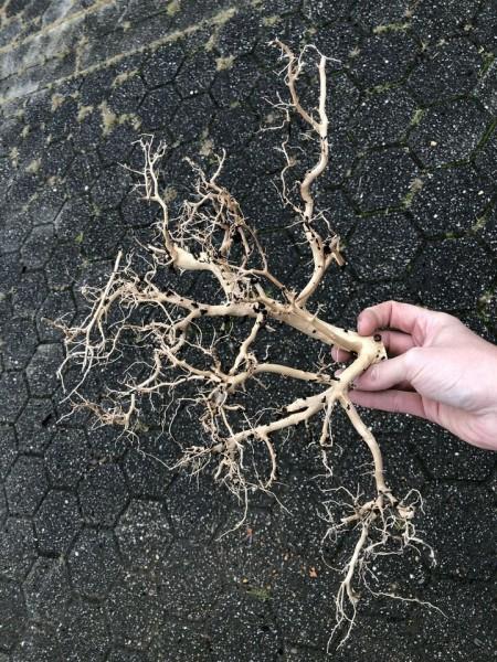Coralwood Größe M